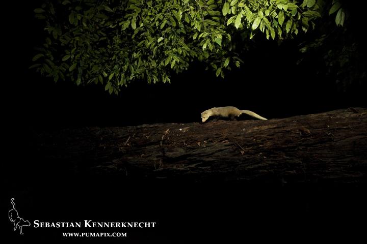 Black-legged Mongoose (Bdeogale nigripes) crossing over log bridge at night, Lope National Park, Gabon