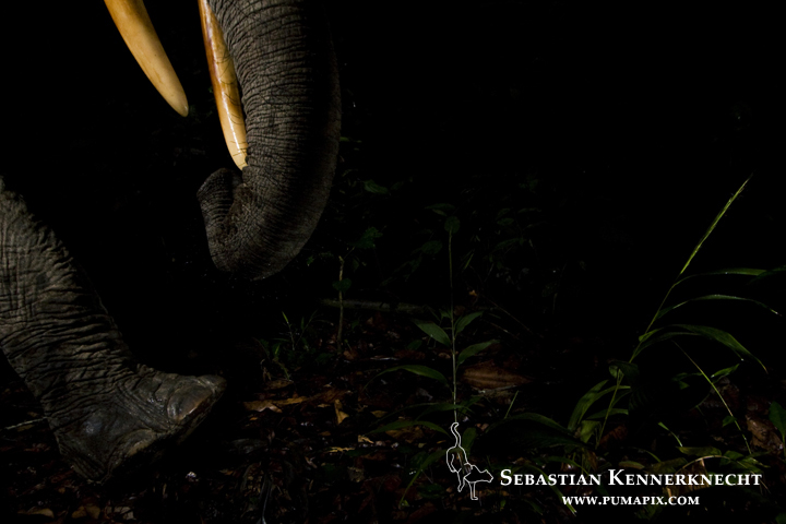 African Forest Elephant (Loxodonta africana cyclotis) bull in tropical rainforest, Lope National Park, Gabon