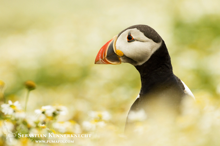 Free Atlantic Puffin Wallpaper
