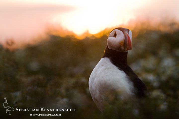 Atlantic Puffin (Fratercula arctica) at sunrise, Skomer Island National Nature Reserve, Skomer Island, Pembrokeshire, Wales, United Kingdom