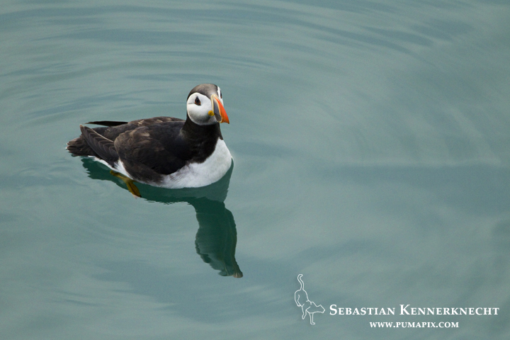 Atlantic Puffin (Fratercula arctica) on water, Skomer Island National Nature Reserve, Skomer Island, Pembrokeshire, Wales, United Kingdom