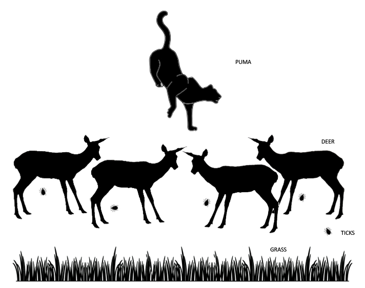 The web of life for a Puma (very simplified)