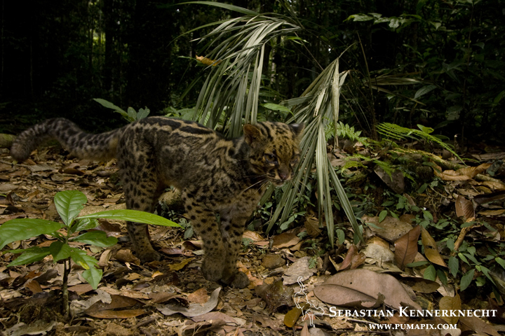 Marbled Cat (Pardofelis marmorata marmorata) in lowland rainforest, Tawau Hills Park, Sabah, Borneo, Malaysia