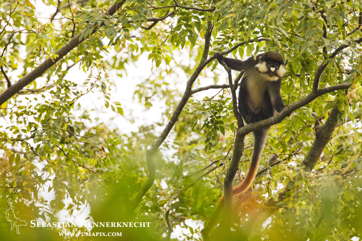 Red-tail Monkey (Cercopithecus ascanius) in tree, Kibale National Park, western Uganda