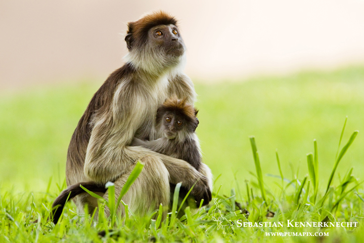 Eastern Red Colobus (Procolobus rufomitratus) mother and young, Kibale National Park, western Uganda