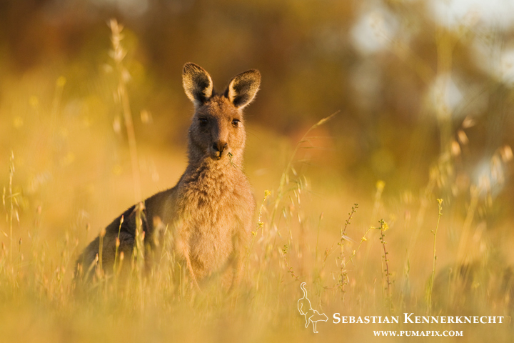 Eastern Grey Kangaroo (Macropus giganteus) female chewing grass at sunrise, Mount Taylor Nature Reserve, Canberra, Australian Capital Territory, Australia
