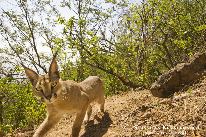 Arabian Caracal (Caracal caracal schmitzi) in forest, Hawf Protected Area, Yemen
