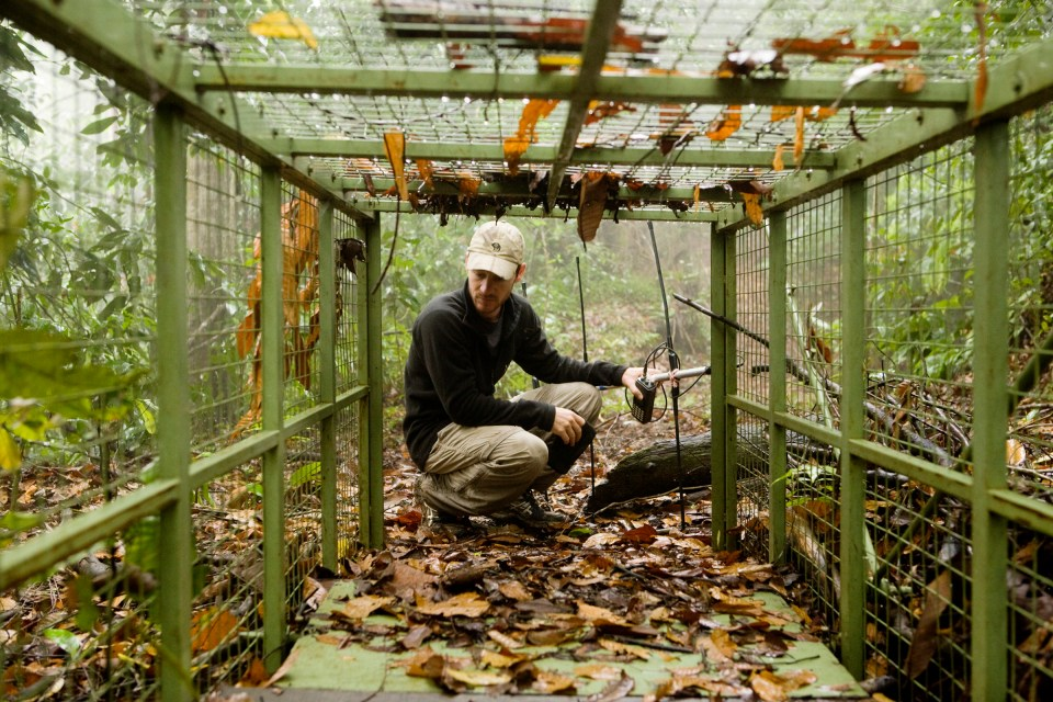 Bornean Clouded Leopard (Neofelis diardi borneensis) researcher Andrew Hearn looking at live trap, Kinabatangan River, Sabah, Borneo, Malaysia