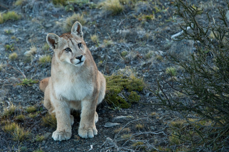 Mountain Lion (Puma concolor) six month old female cub, Torres del Paine National Park, Patagonia, Chile
