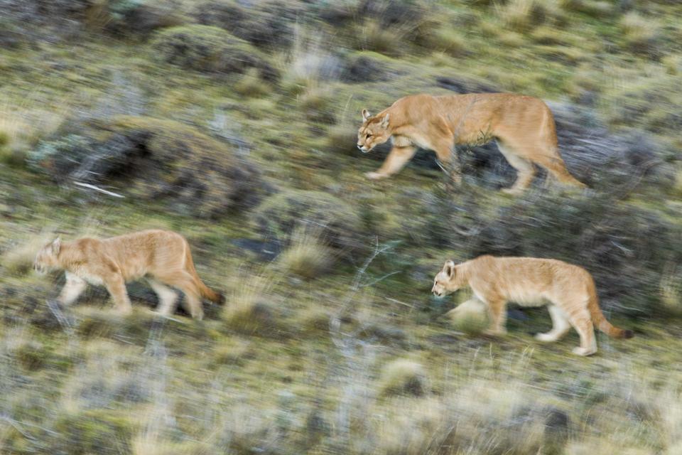 Pumas walking, Torres del Paine National Park, Patagonia, Chile