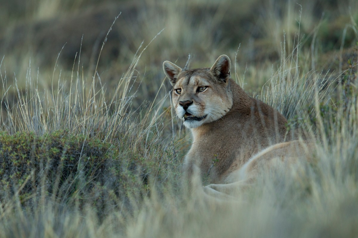 Mountain Lion (Puma concolor) female, Torres del Paine National Park, Patagonia, Chile