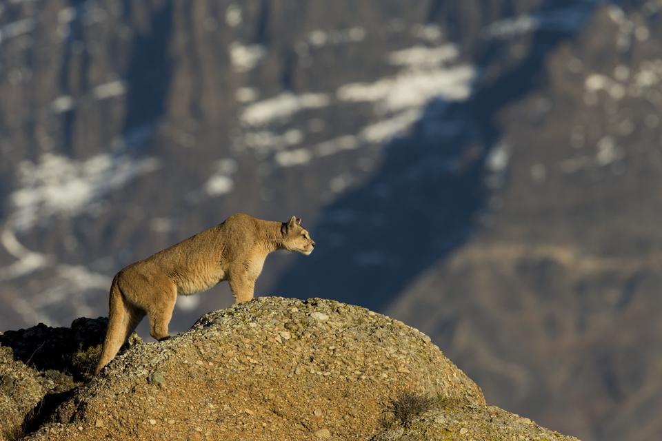 Mountain Lion (Puma concolor) female stalking, Torres del Paine National Park, Patagonia, Chile