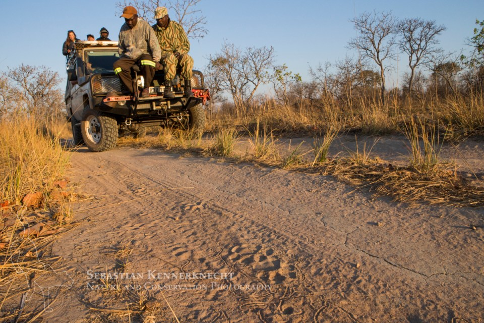 African Lion (Panthera leo) trackers, Christopher Muduwa and Timbo Frackson, looking at female lion tracks during transect, with biologists, Xia Stevens and Evans Nsende, looking for herbivores, Kafue National Park, Zambia