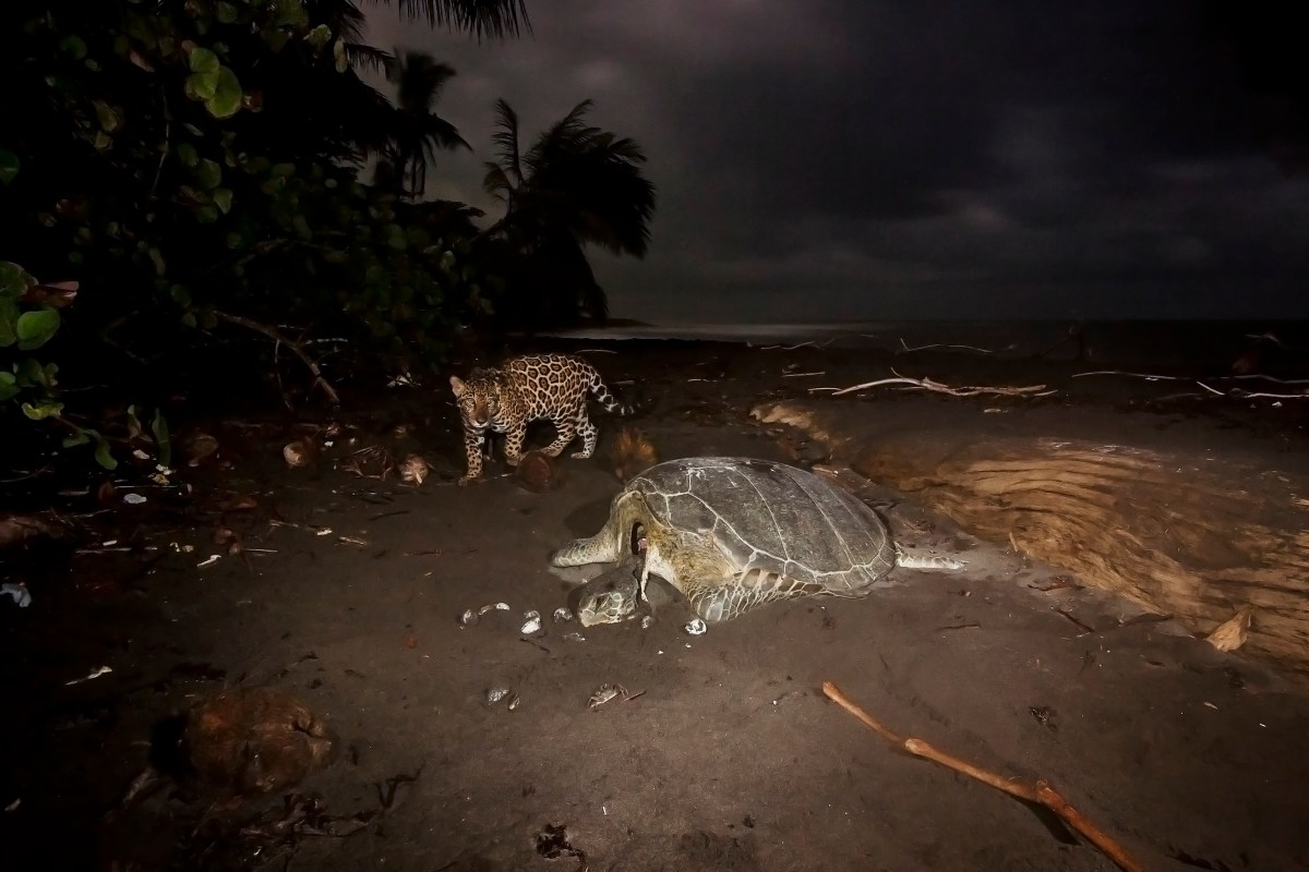 Jaguar (Panthera onca) yearling female cub approaching predated Green Sea Turtle (Chelonia mydas) at night, Coastal Jaguar Conservation Project, Tortuguero National Park, Costa Rica