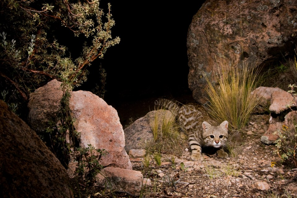 Pampas Cat (Leopardus colocolo) in altiplano at night, Ciudad de Piedra, Andes, western Bolivia