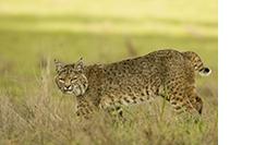 California Bobcat Photo Tour