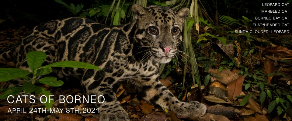 Cats of Borneo Photo Tour 2021