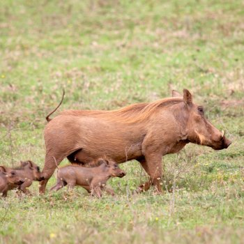Pumba Private Game Reserve Weddings Family Of Warthogs