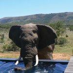 Pumba Msenge Bush Lodge Elephant at the pool