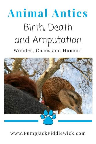 Animal Antics Part 1 - birth, death and an amputation at PumpjackPiddlewick