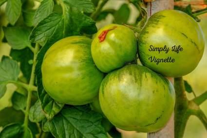 Green tomatoes in an autumn garden at Pumpjack Piddlewick