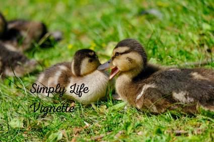 Teenage ducklings voice changes at Pumpjack Piddlewick