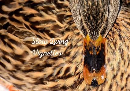 Maggie pet duck's brood is broken at PumpjackPiddlewick