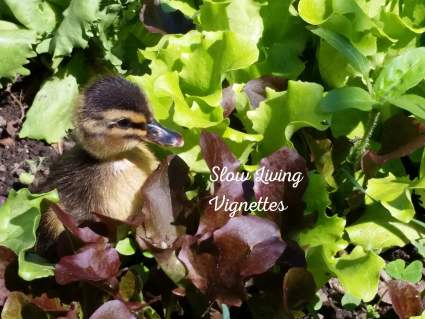 Ducks and imprinting information at PumpjackPiddlewick