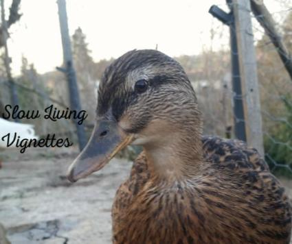 Are duck instincts nature or nurture or both at PumpjackPiddlewick