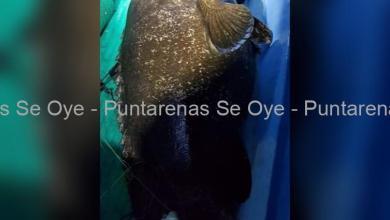Photo of Pescan mega pescado de casi 200 kg en la Península de Nicoya