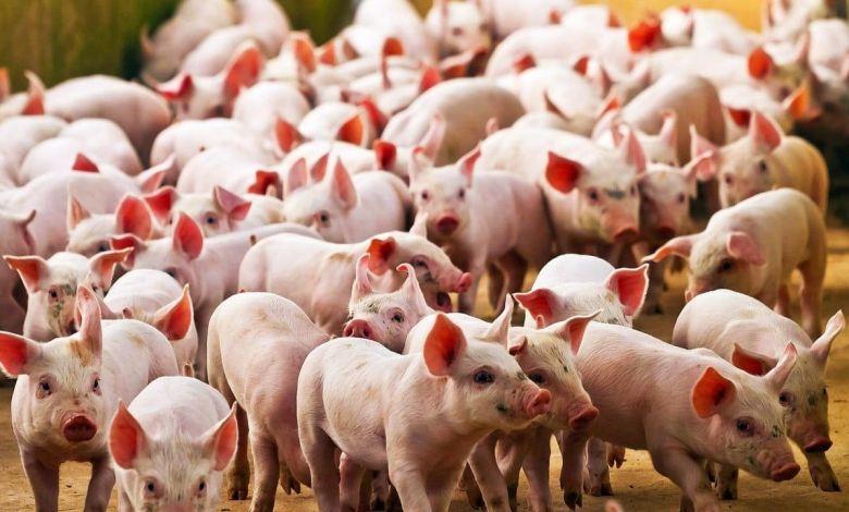 Photo of SENASA descarta que la gripe porcina se convierta en pandemia y que ingrese al país