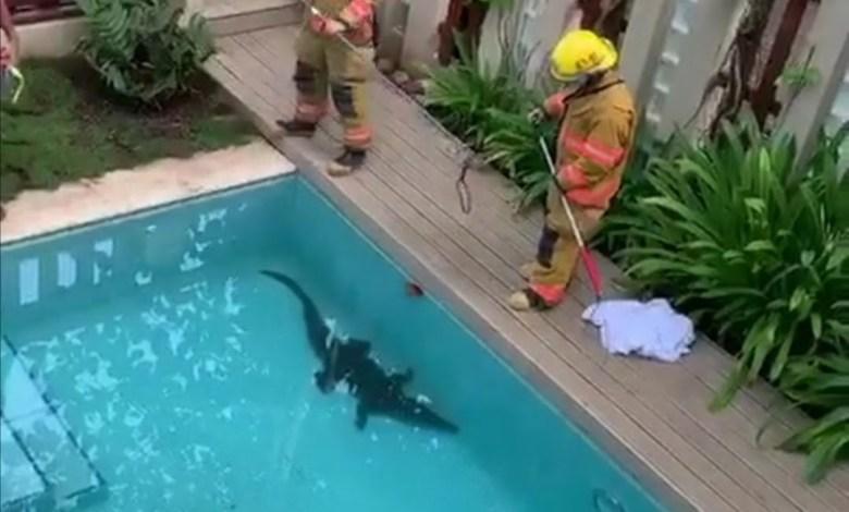 Photo of (VIDEO) Bomberos rescatan cocodrilo que nadaba dentro de piscina en Jaco