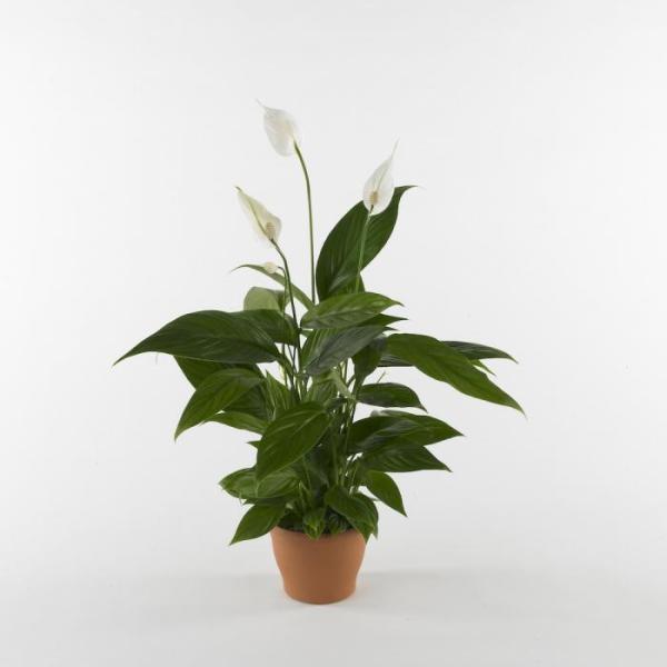 pianta spathiphyllum bianca