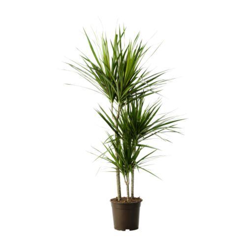pianta dracena