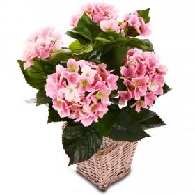 pianta ortensia rosa
