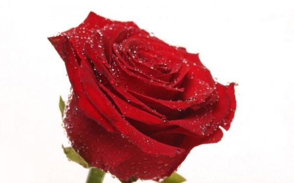 rosa rossa online