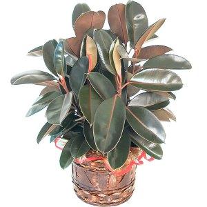 pianta rubber pianta verde