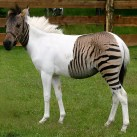Puppies and Flowers : Half Zebra Half Horse = Zorse