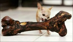 The smallest dog in the world?