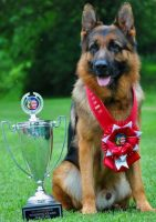 mittelwests-champion-stud-german-shepherds.jpg