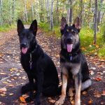 two-german-shepherds-150x150.jpg