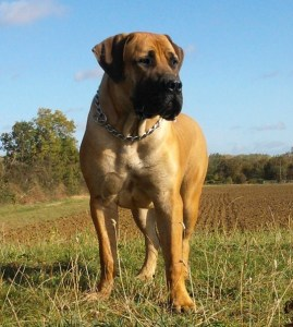 boerboel in the news