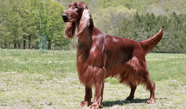 The Story of the Red Setter