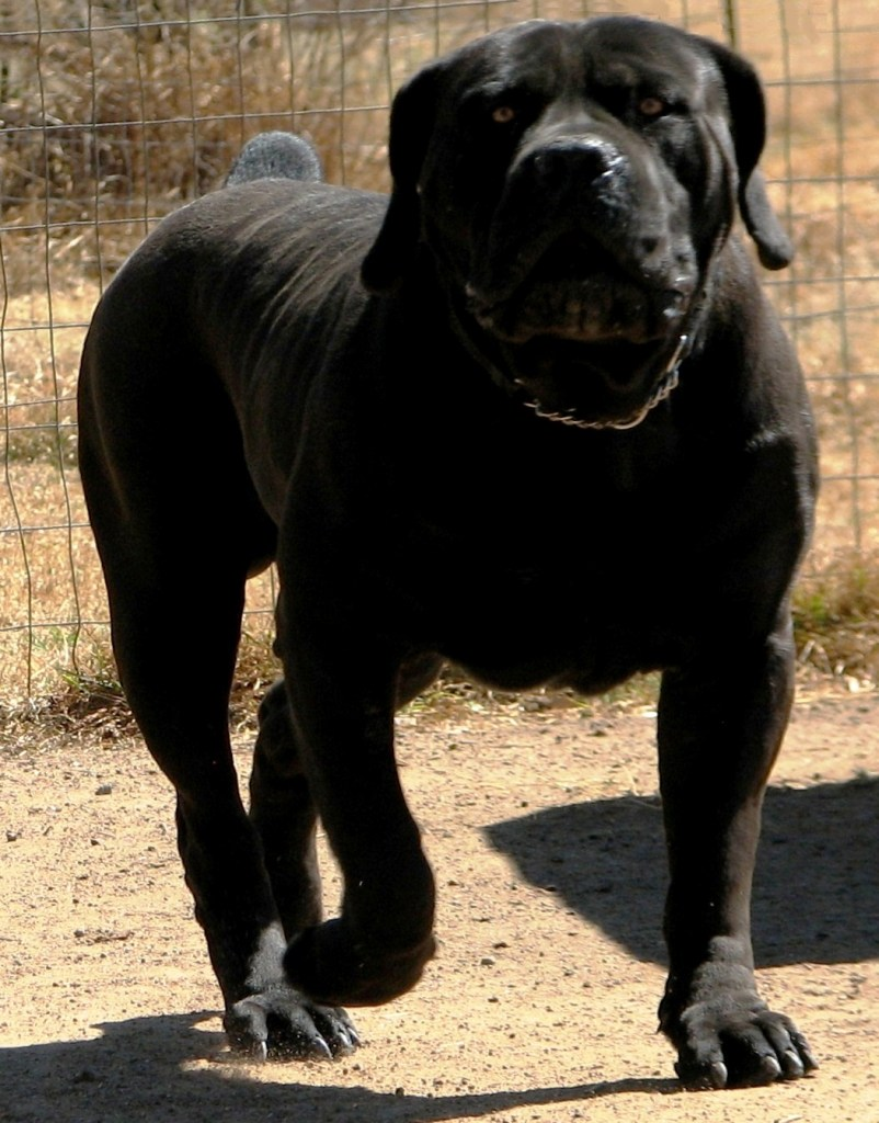 Boerboel Breed Profile And Standards Puppiest Com