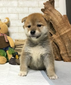 Red Shiba Inu - Marvin