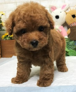 Red Toy Poodle - Eva