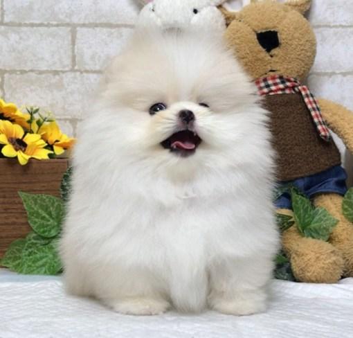 White Teacup Pomeranian - Zara