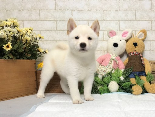 Cream White Shiba Inu - Meghan