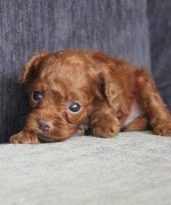 Teacup Poodle Zack