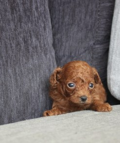 Red Teacup Poodle Billy - Puppyfor.me